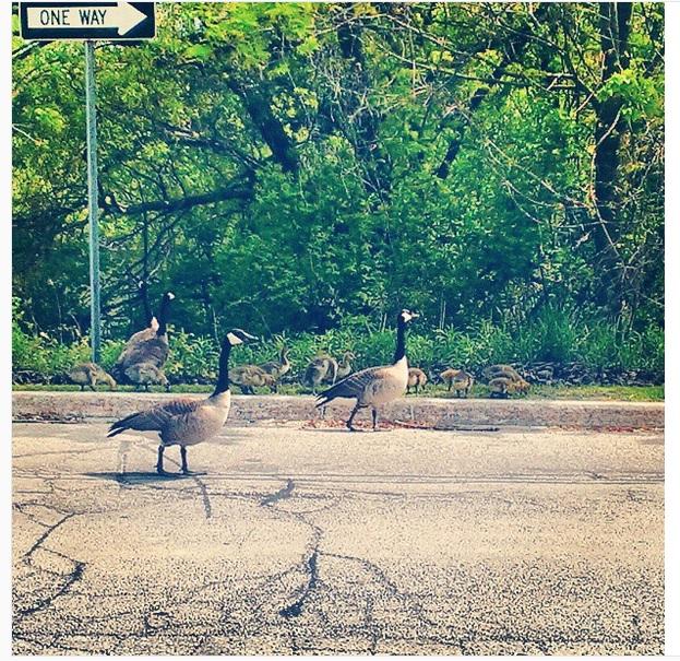 Canada goose & gooslings